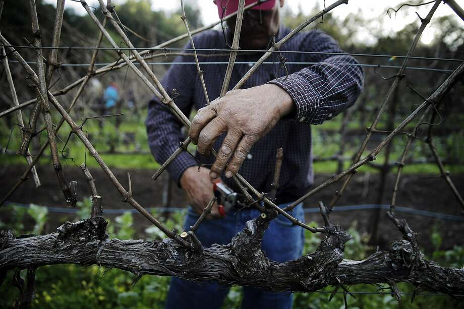 Most vineyards need to be pruned this time of year. Here, Chuy Ordaz, owner of Palo Alto Vineyard Management, prunes a grapevine in Sonoma. Photo: Carlos Avila Gonzalez / The Chronicle 2016