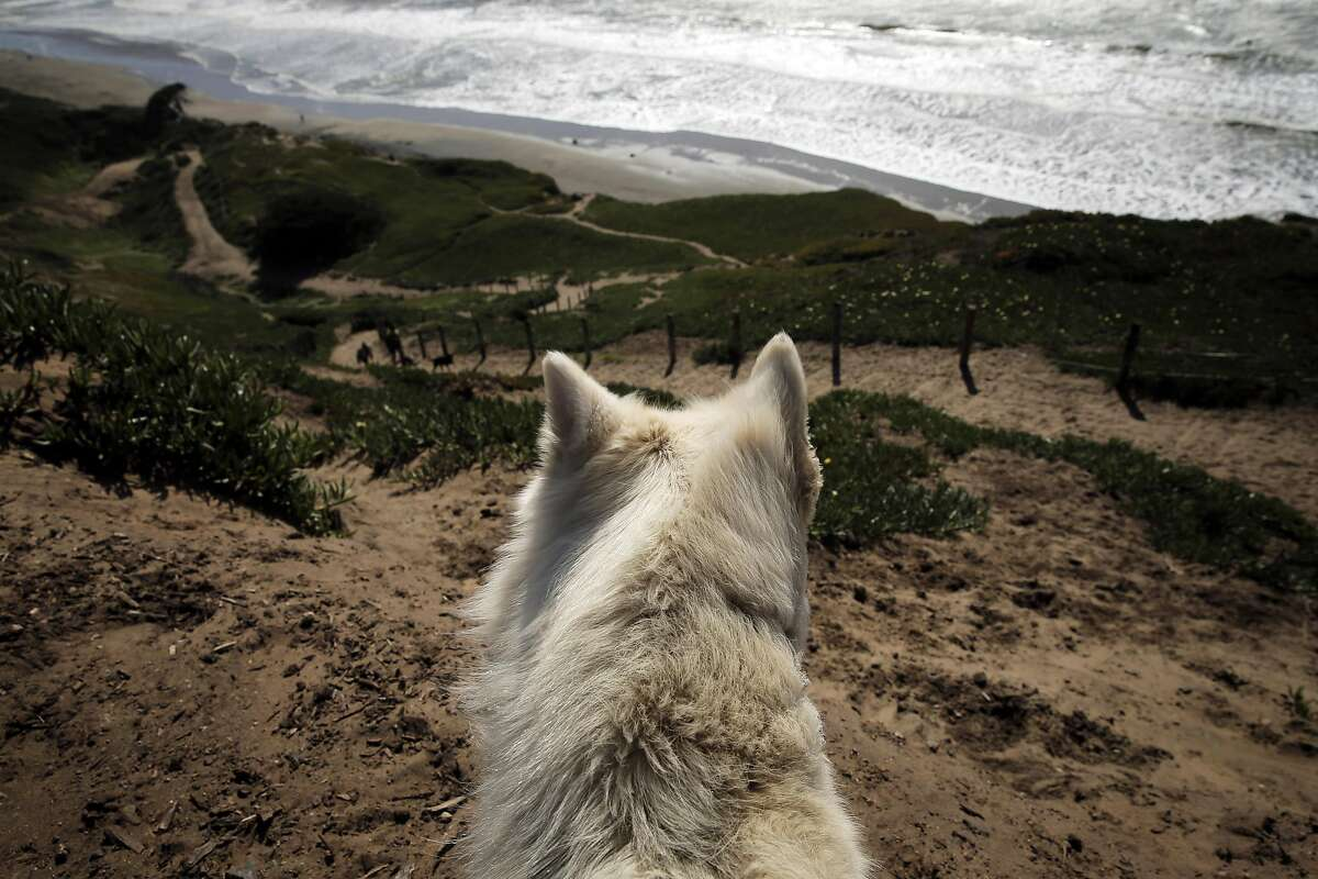 Lukie looks out over the walking trail as dogs and their humans enjoy the area at Fort Funston in San Francisco, Calif., on Tuesday, March 22, 2016.