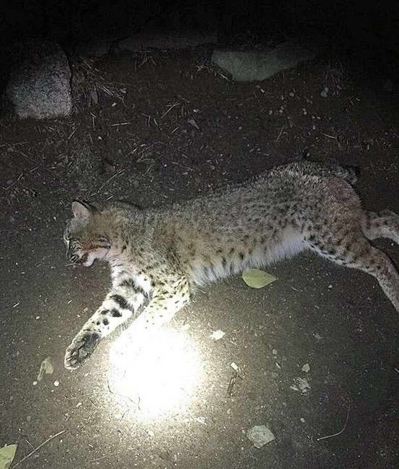 Orange police found this dead bobcat on Old Tavern Road on Thursday, Dec. 1, 2016. Photo: Orange Police Department Via Facebook
