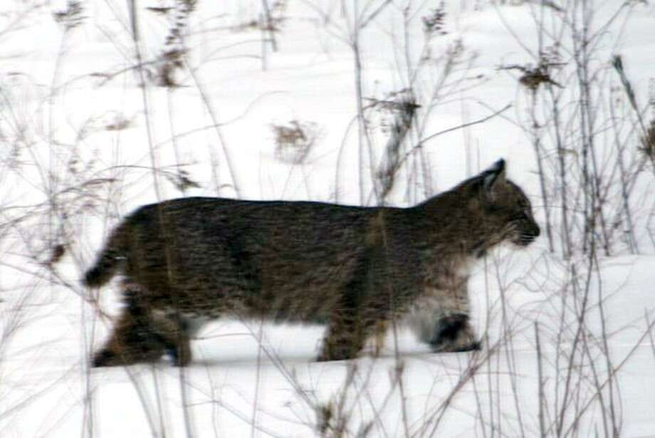A bobcat was spotted in a backyard on Pasture Lane in Shelton. Photo: Contributed Photo\Melissa Garcia / ST / Connecticut Post Contributed