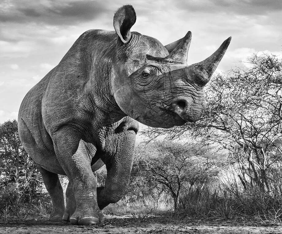 """The Departed"" will be featured in ""Wild Encounters,"" a new exhibition by wildlife photographer David Yarrow opening this week at Greenwich's Isabella Garrucho Fine Art gallery. Photo: © David Yarrow / Contributed Photo / Greenwich Time Contributed"