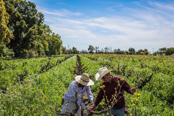 Artemio Lagunas (left) and Oliver Brito (right), employees of Pacific Ag & Vineyard Inc., work together to trim overgrown grape trees at Stampede Vineyard, in Lodi, California, on Wednesday, March 23, 2016.