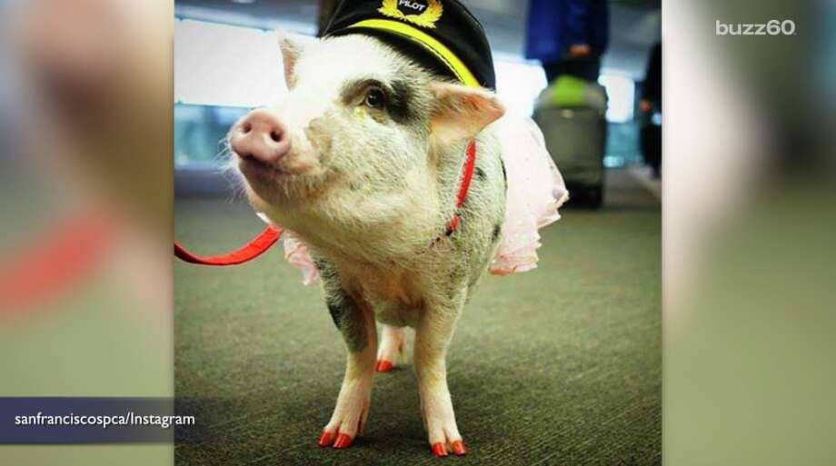 SFO Adds Therapy Pig to Sooth Harried Travelers