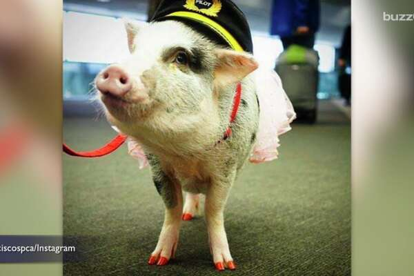 LiLou is the program's first pig.