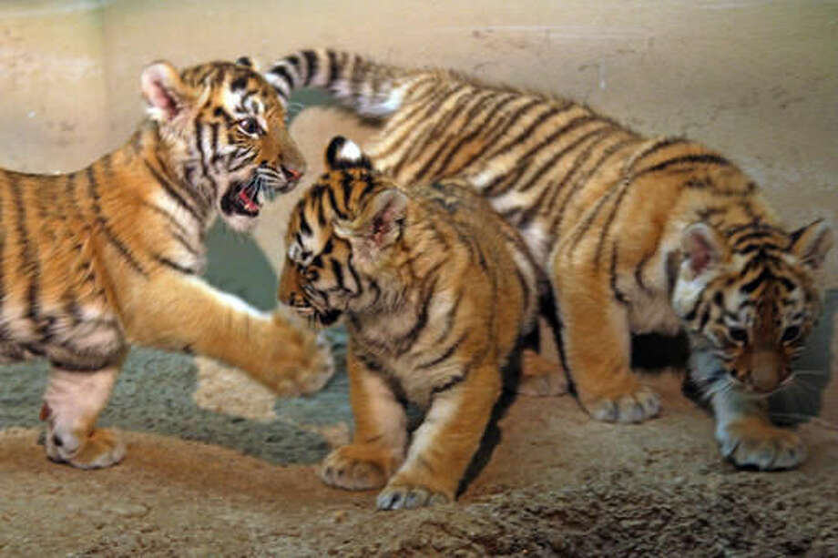 Three Amur tiger cubs make their public debut at the Milwaukee County Zoo in Milwaukee on Friday, Dec. 2, 2016. The two females and one male were born Sept. 14. (AP Photo/Carrie Antlfinger) Photo: Carrie Antlfinger