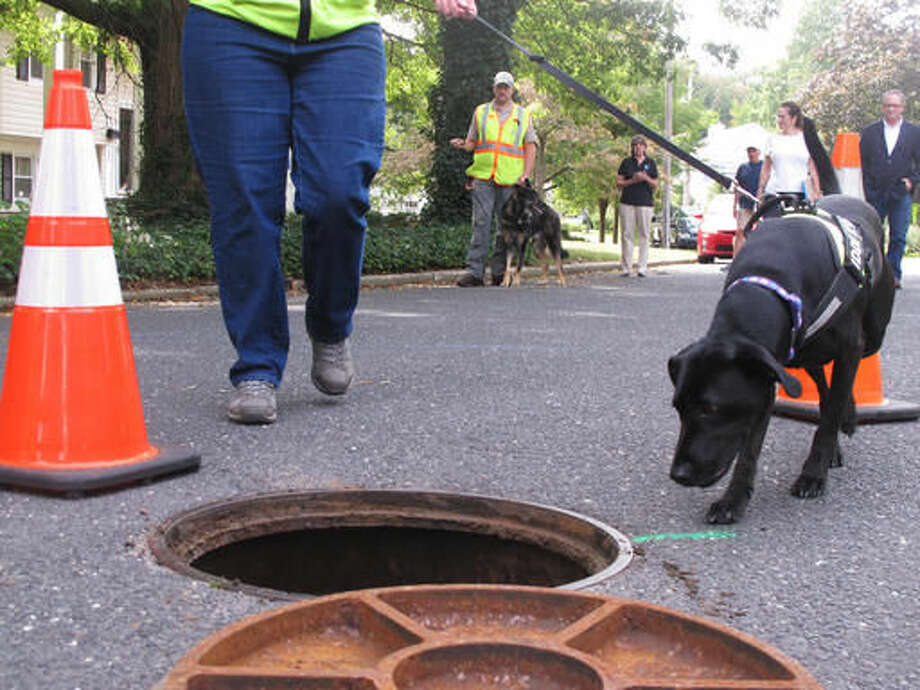 In this Sept. 21, 2016 photo, a dog from Maine-based Environmental Canine Services investigates a manhole in Fair Haven, N.J,. to sniff out source of human waste that might be making their way into waterways at the Jersey shore. The company's dogs identified more than 70 spots in multiple towns near the Navesink River where broken or leaky sewer pipes or other problems might be letting pollution into the river. (AP Photo/Wayne Parry) Photo: Wayne Parry