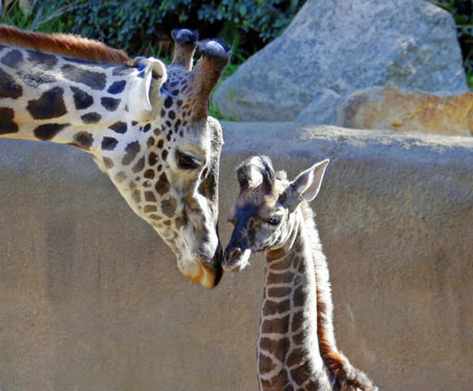 A baby female Masai giraffe, as yet unnamed, nuzzles its father Phillip during her public debut at the Los Angeles Zoo Tuesday, Nov. 22, 2016. The calf, born on Nov. 9, is about six feet tall and weighs 130 pounds. When she's grown, the new arrival could stand 17 feet tall and weigh more than two tons. (AP Photo/Nick Ut) Photo: Nick Ut