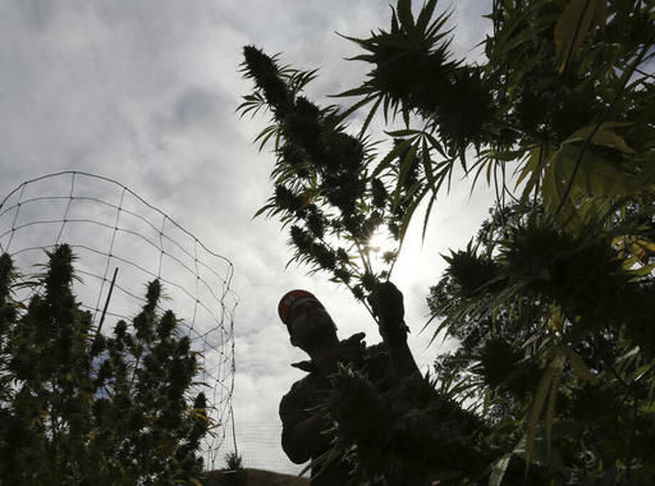 FILE - In this Oct. 12, 2016, file photo, Aaron Gonzalez removes a branch from a marijuana plant on grower Laura Costa's farm, near Garberville, Calif. State tax collectors are taking initial steps to get a hand into the vast, emerging economy, with billions of dollars at stake in the future for the state treasury. State analysts have estimated that state and local governments could eventually collect over $1 billion annually from the production and sale of legal pot. (AP Photo/Rich Pedroncelli, File) Photo: Rich Pedroncelli