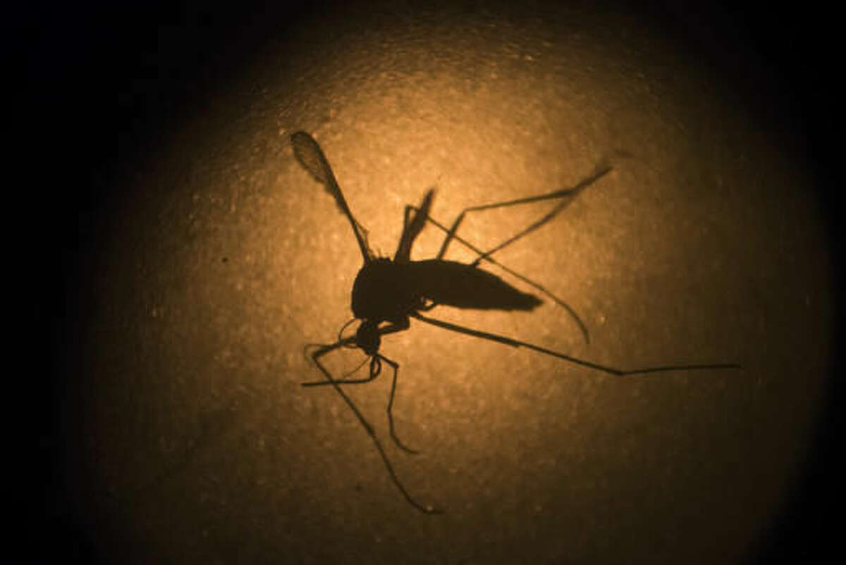 FILE - In this Jan. 27, 2016, file photo, an Aedes aegypti mosquito known to carry the Zika virus, is photographed through a microscope at the Fiocruz institute in Recife, Pernambuco state, Brazil. Texas on Monday, Nov. 28, 2016, reported its first case of Zika virus that likely came from a mosquito bite within the state. (AP Photo/Felipe Dana, File)