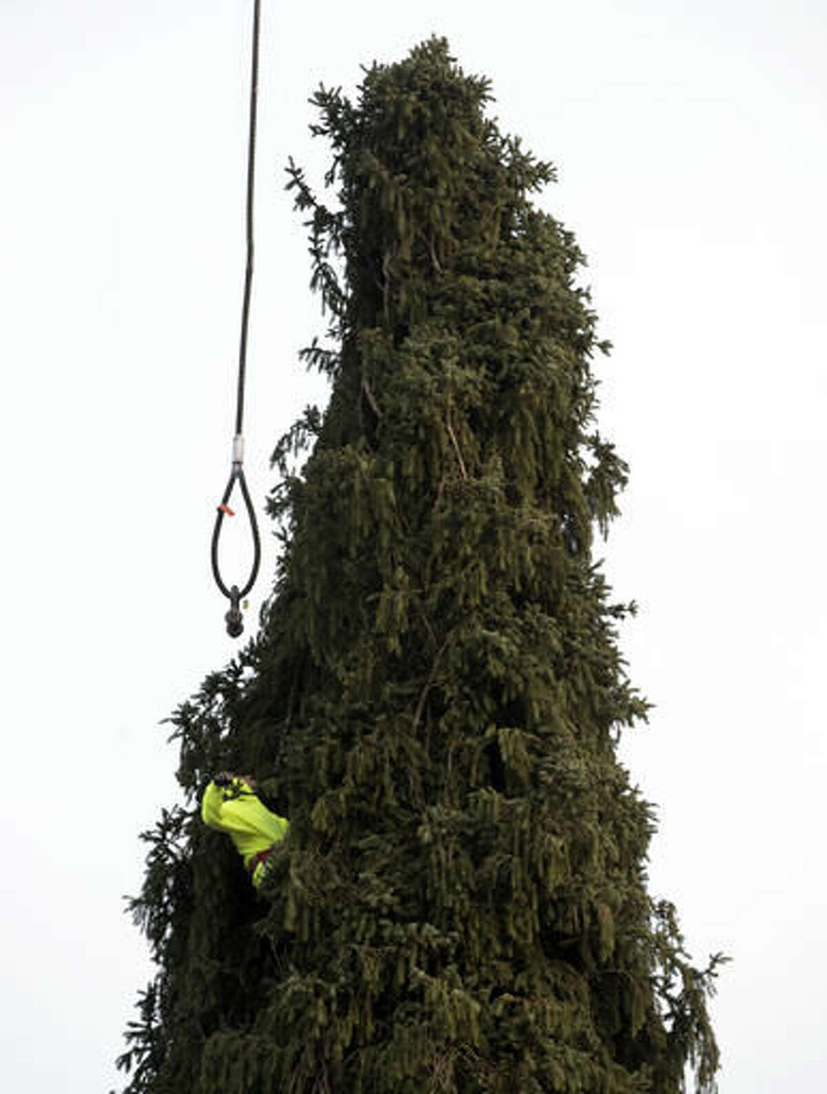 A worker prepares a 94-foot Norway spruce that will serve as the Christmas tree at Rockefeller Center before it is cut on Thursday, Nov. 10, 2016, in Oneonta, N.Y. The spruce is due to arrive Saturday in Manhattan, about 140 miles away. (AP Photo/Mike Groll)