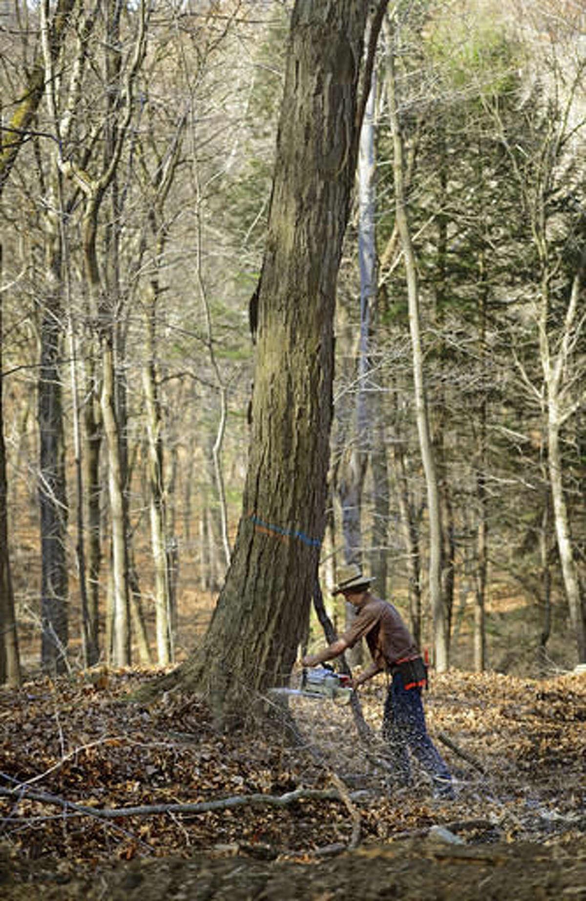 In this Tuesday, Nov. 15, 2016 photo, John Miller, of Dayton, works on harvesting a mature hardwood tree while logging in Lower Burrell, Pa. (Louis B. Ruediger /Pittsburgh Tribune-Review via AP)