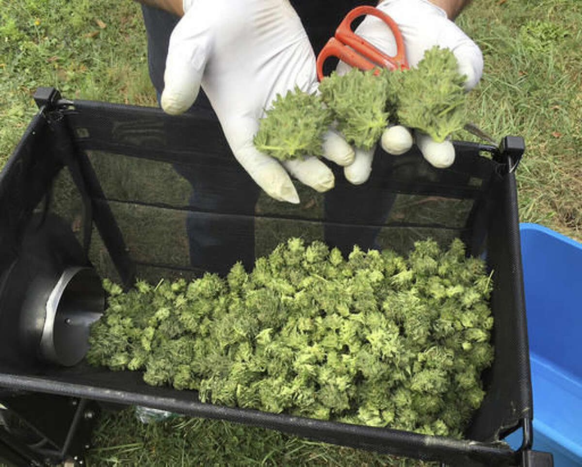 FILE--In this Sept. 30, 2016, file photo, a marijuana harvester examines buds as they go through a trimming machine in a rural area near Corvallis, Ore. Some 30 counties and cities in Oregon approved some type of marijuana businesses in the election and all now must establish rules for them in less than seven weeks. (AP Photo/Andrew Selsky, file)