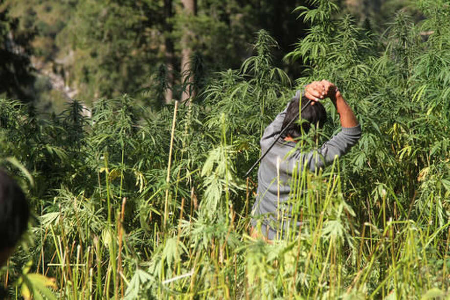 "In this Wednesday, Oct. 5, 2016 photo, a government forest worker destroys fully grown marijuana plants in Malana village in the northern Indian state of Himachal Pradesh. Nestled deep in the higher reaches of the Indian Himalayas, Malana has become one of the world's top stoner destinations, and a symbolical battleground for India's fight against 'charas,' the black and sticky hashish that has made the village famous. While the rising demand and price of ""charas"" has benefited the villagers, it has also led to a slight increase in prosecutions and prompted the government to send machete-wielding police and forest personnel on long treks to destroy a small percentage of the marijuana fields. (AP Photo/Rishabh R. Jain)"