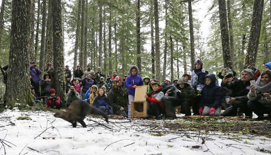 In this Friday, Dec. 2, 2016, photo, visitors look on as a Pacific fisher takes off running after being released into a forest at Mount Rainier National Park, Wash. Pacific fishers, forest-dwelling weasel-like mammals whose numbers have declined in the West Coast over the decades, are slowly making a comeback in Washington state. The fisher was among 10 captured days earlier in British Columbia, and then released Friday as part of a multi-year effort to restore them to their historic range. The rare, elusive carnivores were once found throughout many forested areas of the West Coast, but their numbers declined due to trapping and the loss of forest habitats. (AP Photo/Elaine Thompson)