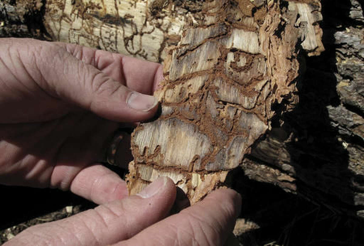 FILE - In this June 6, 2016 file photo, Division Chief Jim McDougald of the California Department of Forestry and Fire Protection holds a piece of tree bark showing burrowing marks from a bark beetle infestation near Cressman, Calif. The California drought has killed more than 102 million trees in a die-off of forests that increases the risk of catastrophic wildfires and other threats to humans, officials said Friday, Nov. 18. The latest aerial survey by the U.S. Forest Service shows there are 36 million more dead trees since May in the state and there has been a 100 percent increase since 2015. (AP Photo/Scott Smith, File)
