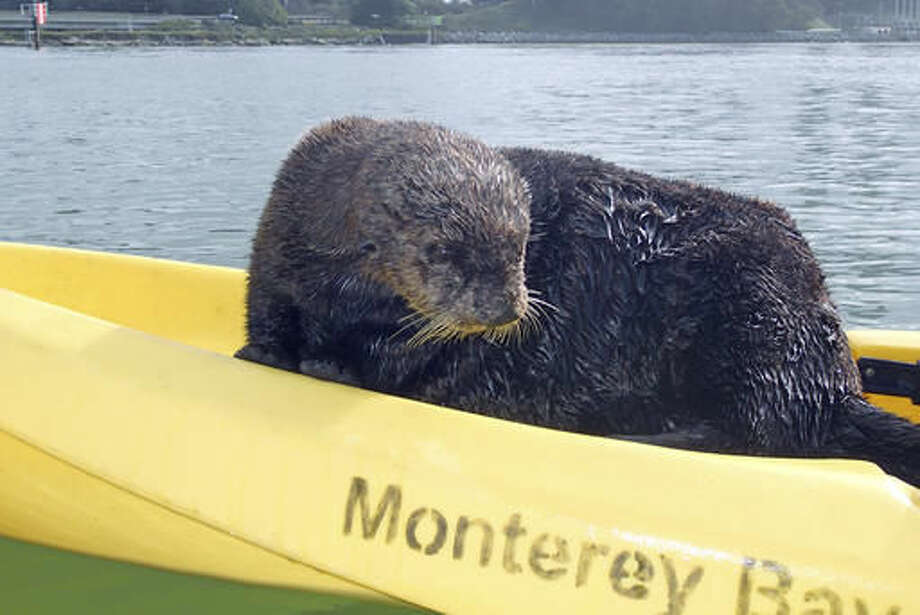 This Monday, Nov. 28, 2016 photo provided by Heather VanNes shows a friendly sea otter after it jumped aboard a kayak piloted by her husband John Koester while both were kayaking in a slough near Moss Landing, Calif. The couple was celebrating a birthday when the animal jumped into one of their kayaks and made itself at home. (Heather VanNes via AP) Photo: Heather VanNes