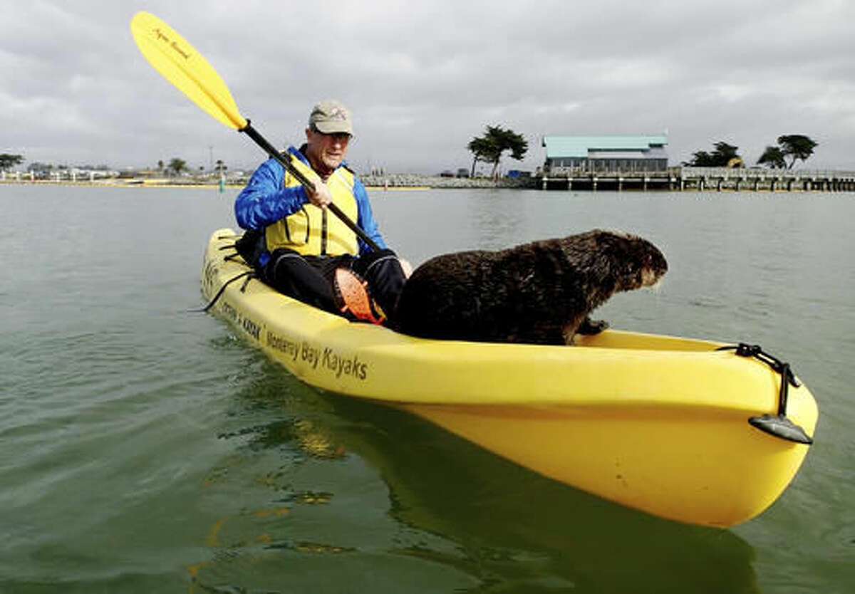 This Monday, Nov. 28, 2016 photo provided by Heather VanNes shows a friendly sea otter after it jumped aboard a kayak piloted by her husband John Koester while both were kayaking in a slough near Moss Landing, Calif. The couple was celebrating a birthday when the animal jumped into one of their kayaks and made itself at home. (Heather VanNes via AP)