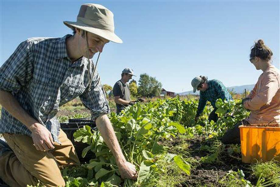 ADVANCE FOR WEEKEND EDITIONS, NOV. 12-13 - In this Sept. 28, 2016 photo, Dylan Strike, owner of Strike Farms, harvests black Spanish radishes at Strike Farms outside Bozeman, Mont. (Rachel Leathe/Bozeman Daily Chronicle via AP) Photo: Rachel Leathe