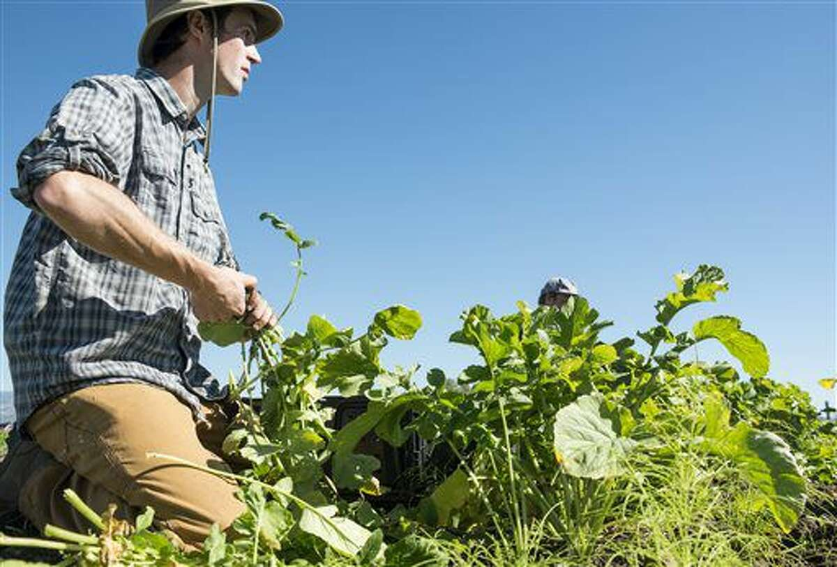 ADVANCE FOR WEEKEND EDITIONS, NOV. 12-13 - In this Sept. 28, 2016 photo, Dylan Strike, owner of Strike Farms, harvests black Spanish radishes at Strike Farms, an organic farm on the edge of Bozeman, Mont. (Rachel Leathe/Bozeman Daily Chronicle via AP)