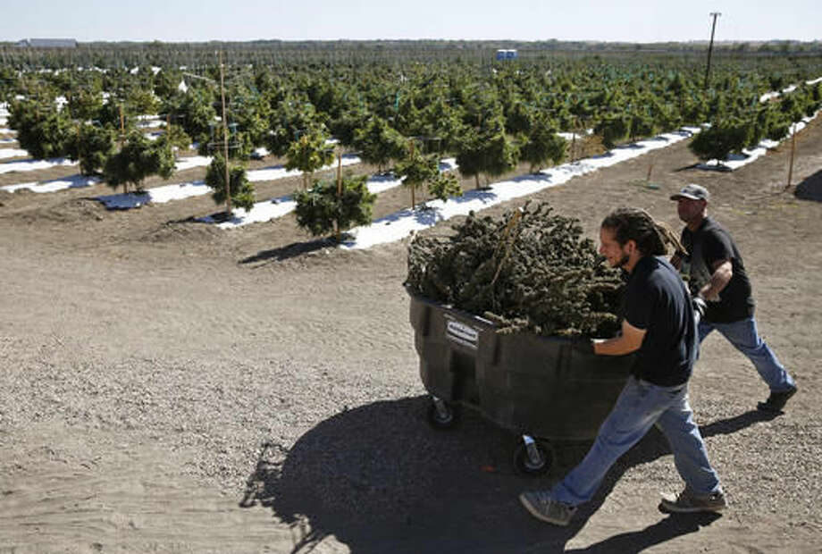 FILE - In this Oct. 4, 2016, file photo, farmworkers transport newly-harvested marijuana plants, at Los Suenos Farms, America's largest legal open air marijuana farm, in Avondale, southern Colo. Opponents of a state ruling that would prevent bars and many restaurants in Denver from offering on-site marijuana consumption said the ruling would overturn a law approved by voters and force people to sneak around while they use pot and consume alcohol. The new rule announced Friday, Nov. 18 by the Liquor Enforcement Division of the Colorado Department of Revenue bars liquor-license holders from applying for a permit to allow the consumption of pot.. (AP Photo/Brennan Linsley, File) Photo: Brennan Linsley
