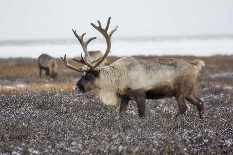 """In this photo taken on Tuesday, Oct. 25, 2016, reindeer pasture in the Yamal region, Russia. The indigenous reindeer herders in Russia's northern Yamal Region, a remote section of Siberia where winter temperatures can sink below minus 50 degrees Celsius, are facing a man-made threat as officials push ahead with an unprecedented culling that calls for at least one in seven of the Yamal's reindeer to be slaughtered. Regional government spokeswoman Olesya Litovskikh denied the oil and gas industry lobbied for increased culling. Energy companies spend """"billions of rubles"""" developing far-flung areas and supporting Nenets culture, Litovskikh said. (AP Photo/Igor Novikov)"""