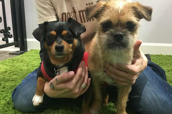 Rowdy Gus, right, and Wally, left, are two of the dogs that ate rat poison on Wednesday, Nov. 30 at the Gimmie A Bark dog day care. A reward of $5,500 is being offered for information on any suspects who threw the poison in the dog yard the night before.