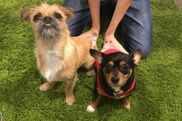 Rowdy Gus, left, and Wally, right, are two of the dogs that ate rat poison on Wednesday, Nov. 30 at the Gimmie A Bark dog day care. A reward of $5,500 is being offered for information on any suspects who threw the poison in the dog yard the night before.