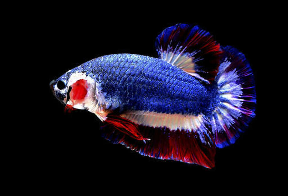 In this Nov. 17, 2016, photo, a Siamese fighting fish with colors resembling the Thai national flag swims in a fish tank in Nakhon Pathom, Thailand. Pictures of the fish's blue, red and white horizontal stripes went viral upon being posted on a private Betta fish auction group on Facebook since its colors closely resembled the Thai flag and sold for a record breaking 53,500 baht ($1,528), making it the most expensive Betta fish to ever be sold. (Chuchat Lekdeangyu/Shutter Prince via AP)
