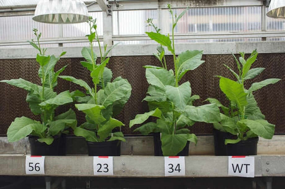 This photo provided by Haley Ahlers, University of Illinois, shows three plants transformed to improve photoprotection recovery are visibily larger than the normal (wildtype) tobacco plant, right. Scientists have hacked a plant's genes to make it use sunlight more efficiently, a breakthrough that may eventually dramatically increase the amount of food grown. Think of it as photosynthesis on steroids. Photosynthesis is how plants convert sunlight, carbon dioxide and water into food. But it's a very inefficient process, using less than one percent of the energy available, scientists said. (Haley Ahlers, University of Illinois via AP)
