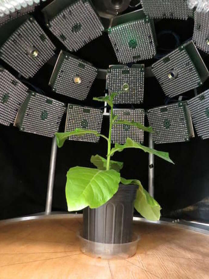 In this photo provided by Katarzyna Glowacka, University of Illinois, a fluorescence imager analyzes how efficiently plants use light. Scientists have hacked a plant's genes to make it use sunlight more efficiently, a breakthrough that may eventually dramatically increase the amount of food grown. Think of it as photosynthesis on steroids. Photosynthesis is how plants convert sunlight, carbon dioxide and water into food. But it's a very inefficient process, using less than one percent of the energy available, scientists said. (Katarzyna Glowacka, University of Illinois via AP)