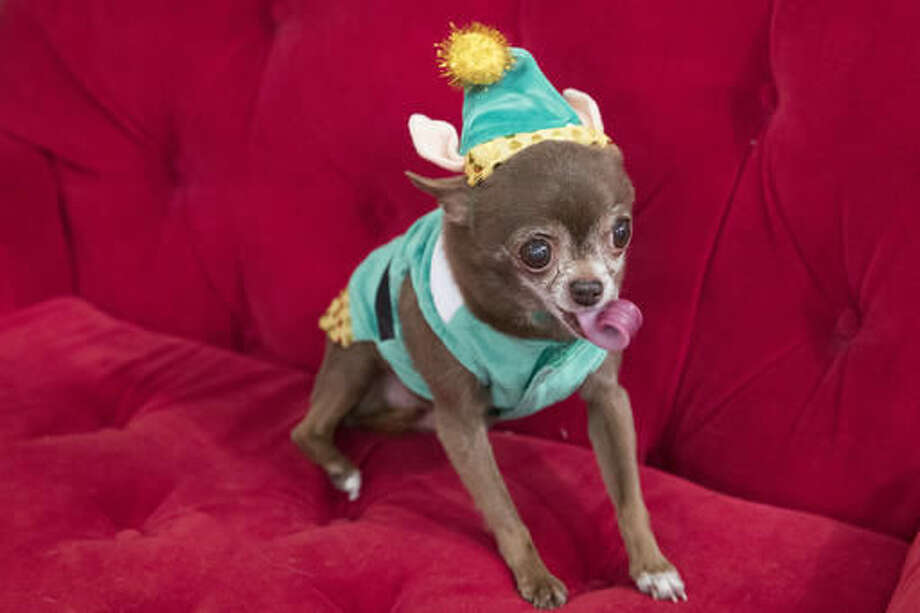 In this Thursday, Nov. 10, 2016 photo Chloe Kardoggian, a 12-year old rescue chihuahua, models a guinea pig elf costume during the PetSmart holiday collection preview in New York. More than half of dog owners and nearly 40 percent of cat owners buy their pets gifts for Christmas or Hanukkah, according to the American Pet Products Association, an industry trade group. (AP Photo/Mary Altaffer)