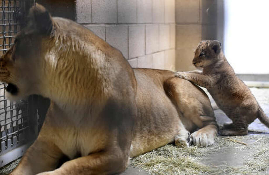 In this Nov. 17, 2016 photo a 5-week-old lion cub tries climbing up his mom's back at the Fresno Chaffee Zoo, in Fresno, Calif. The zoo is showing off the new lion cub and asking zoo-goers to choose his name. (John Walker /The Fresno Bee via AP)
