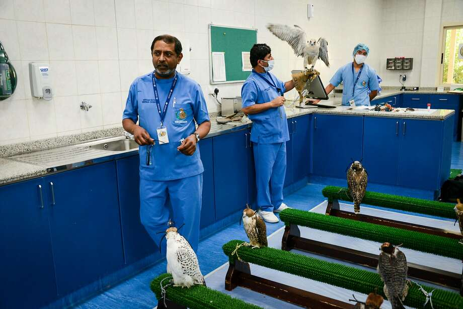 The Abu Dhabi Falcon Hospital, the largest of its kind in the world, treats about 11,200 falcons yearly. Photo: Jill K. Robinson, Special To The Chronicle