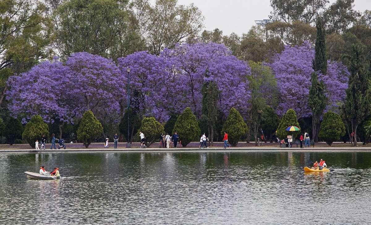 Mexico, Mexico City, Chapultepec Park, boating lake with Jacaranda trees in the background