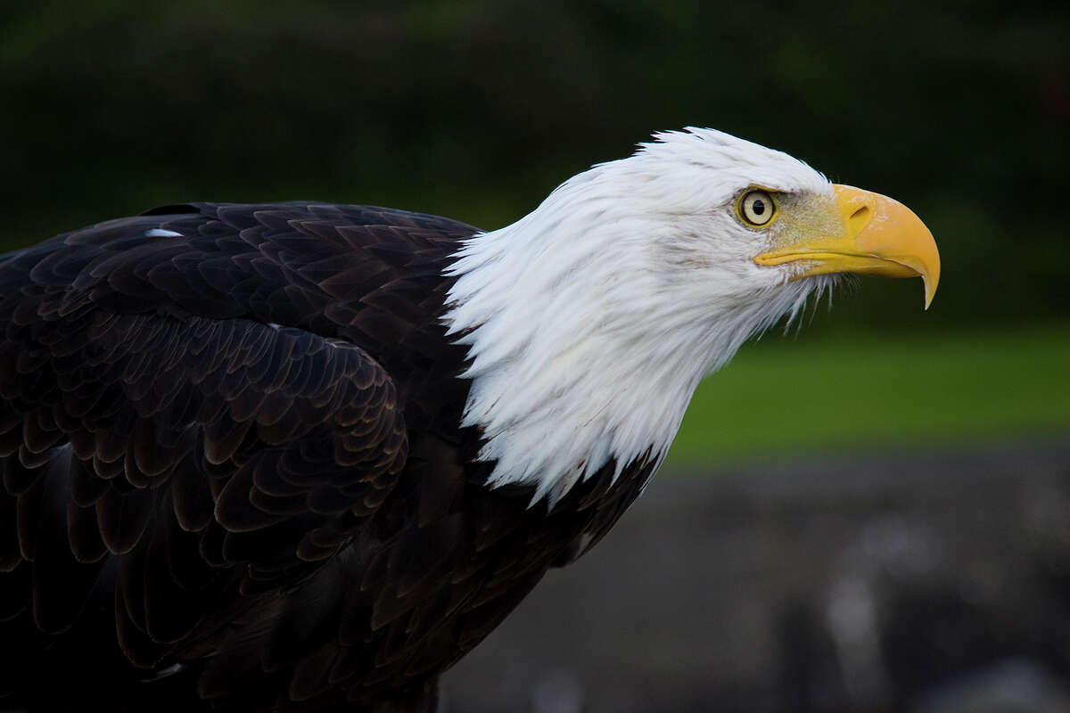 National symbol The bald eagle was chosen as a national symbol in 1782. At that time it was estimated that there were up to a half-million in North America.