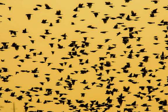 Giant flocks of blackbirds are not out to get you. The birds congretate in winter to find food in a warm and secure location. (Photo: Kathy Adams Clark)