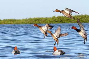With coastal prairie and marsh wetlands recharged by rain, prospects are  outstanding for the Saturday  reopening of duck season in the South Zone.