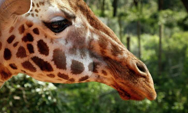 Giraffes, overlooked because they seem to be everywhere, are vulnerable to disappearing off the face of the planet. This according to biologists who create the world's extinction watch list at a biodiversity meeting in Mexico on Wednesday.