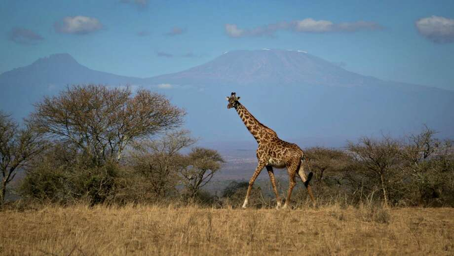 FILE-- In this photo taken Thursday, Aug. 18, 2016, a giraffe walks across the savannah in Amboseli national park, Kenya, as the highest mountain in Africa Mount Kilimanjaro in Tanzania is seen in the background.Americans may be recreating the cradle of humanity with their thermostats. When researchers compared temperature and air moisture levels in 37 U.S. homes to outdoor climates around the world, they found that all but three of the homes were most similar to locations in Africa -- the same continent where the first humans arose hundreds of thousands of years ago. Photo: Khaled Kazziha, STF / Copyright 2016 The Associated Press. All rights reserved.