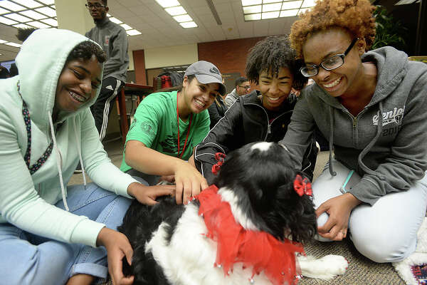 """Lamar University students, including (from left) Autumn White, Breyan Eskridge, Sharian DeJean, and Ericka Carter, enjoy taking a break from studying for final exams de-stressing with therapy dogs from Southeast Texas Paws 4 Love. The group has been bringing the dogs to visit with students at the Mary and John Gray Library throughout finals week to give the students a relaxing and loving break. The program began almost four years ago and has grown in popularity throughout time. Political science instructor and therapy dog owner Sara Gubala, who helped start the program, says """"It's fun to expose students to the dogs, and they're laughing and smiling and it's finals week,"""" adding that some students come every day. """"There was a student yesterday who told me he had been up for 40 hours and was in here playing with the dogs."""" Photo taken Wednesday, December 7, 2016 Kim Brent/The Enterprise"""