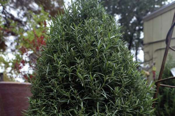 Living Christmas trees available at Shades of Green nursery on Sunset Rd.