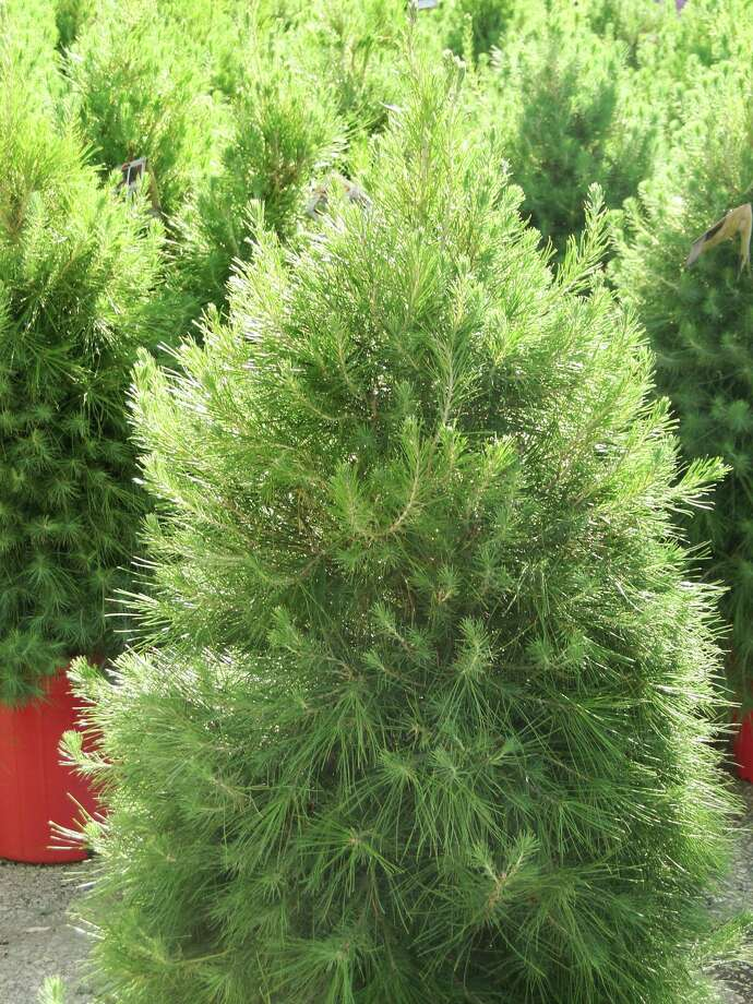 Aleppo pine looks softer than Italian stone pine, another species that can serve as a Christmas tree before being planted in the landscape. Photo: Express-News File Photo