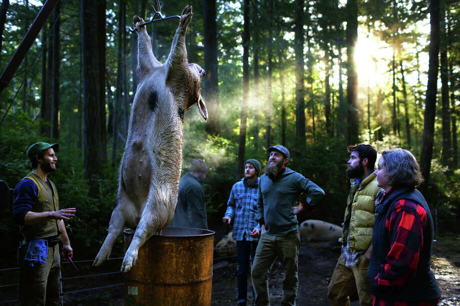 Morning light cuts through the forest as the approximately 300-pound pig is hoisted with a winch attached to a mobile slaughter truck and then lowered into a barrel of hot water.   In 2010, Brandon and Lauren Sheard opened Farmstead Meatsmith on their property on Vashon Island. They offer small-scale abattoir, butchery and charcuterie services as well as teach classes on the art of slaughter, butchery and cooking. These photos were taken over the course of a 3-day pig harvesting class, Jan. 14-16, 2016.  Photo: GENNA MARTIN, SEATTLEPI.COM