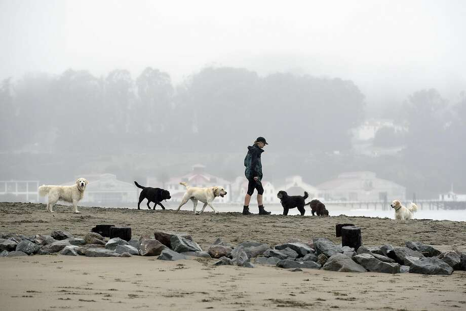 "FILE PHOTO: A woman walks a group of dogs on a section of beach that will be designated as ""Off Leash"" when new Golden Gate National Recreation Area dog management plans go into effect next year, at Crissy Field in San Francisco, CA, on Thursday, December 8, 2016. Photo: Michael Short, Special To The Chronicle"