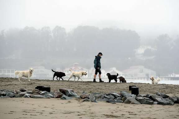 """A woman walks a group of dogs on a section of beach that will be designated as """"Off Leash"""" when new Golden Gate National Recreation Area dog management plans go into effect next year, at Crissy Field in San Francisco, CA, on Thursday, December 8, 2016."""