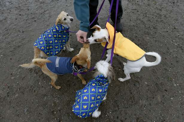 """Professional dog walker Kate Moga, who works under the company name """"Kate's Play Dates"""", gives treats to dogs she is walking on a section of beach that will be designated as """"Off Leash"""" when new Golden Gate National Recreation Area dog management plans go into effect next year, at Crissy Field in San Francisco, CA, on Thursday, December 8, 2016."""