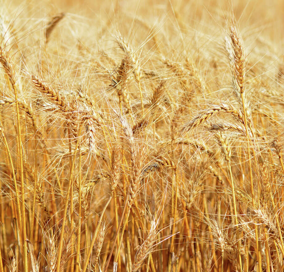 AMARILLO – The U.S. has a pile of wheat to dig through this year, and that means lower prices. But a Texas A&M AgriLife Extension Service economist said world circumstances could present marketing opportunities in the coming year. /