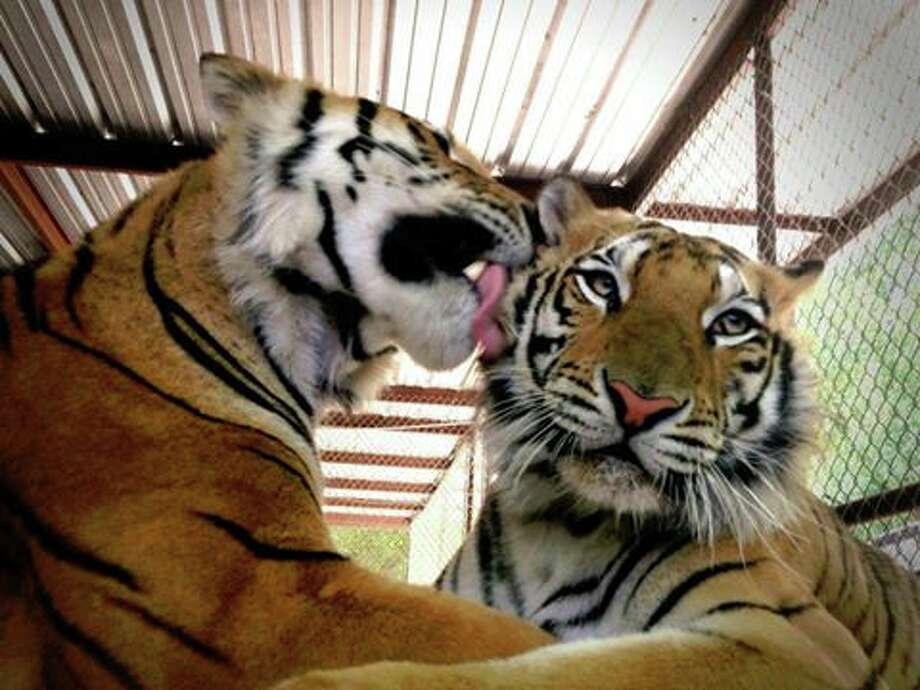 Aasha, right, gets a tiger kiss from her companion, Smuggler, who was also rescued by In-Sync Exotics. (Facebook/In-Sync Exotics) Photo: In-Sync Exotics