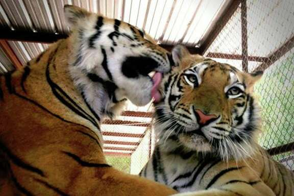 Aasha, right, gets a tiger kiss from her companion, Smuggler, who was also rescued by In-Sync Exotics. ( Facebook/In-Sync Exotics )