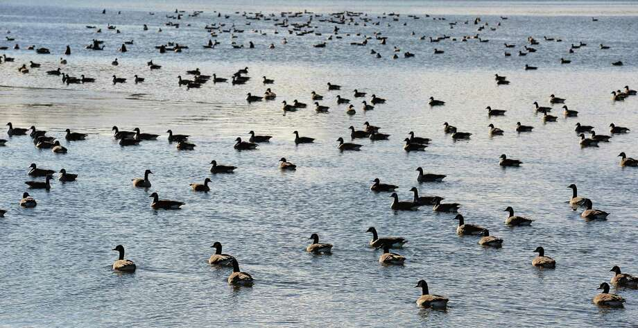 Canada Geese on Stony Creek Reservoir Friday Dec. 9, 2016 in Clifton Park, NY.  (John Carl D'Annibale / Times Union) Photo: John Carl D'Annibale